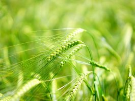Mladý zelený ječmen jako podpora pro vaše zdraví