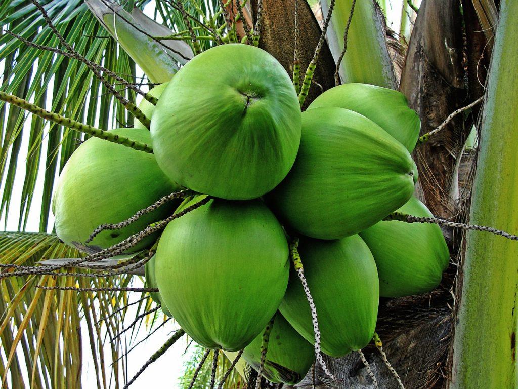 Kokos roste na kokosovníku ořechoplodém
