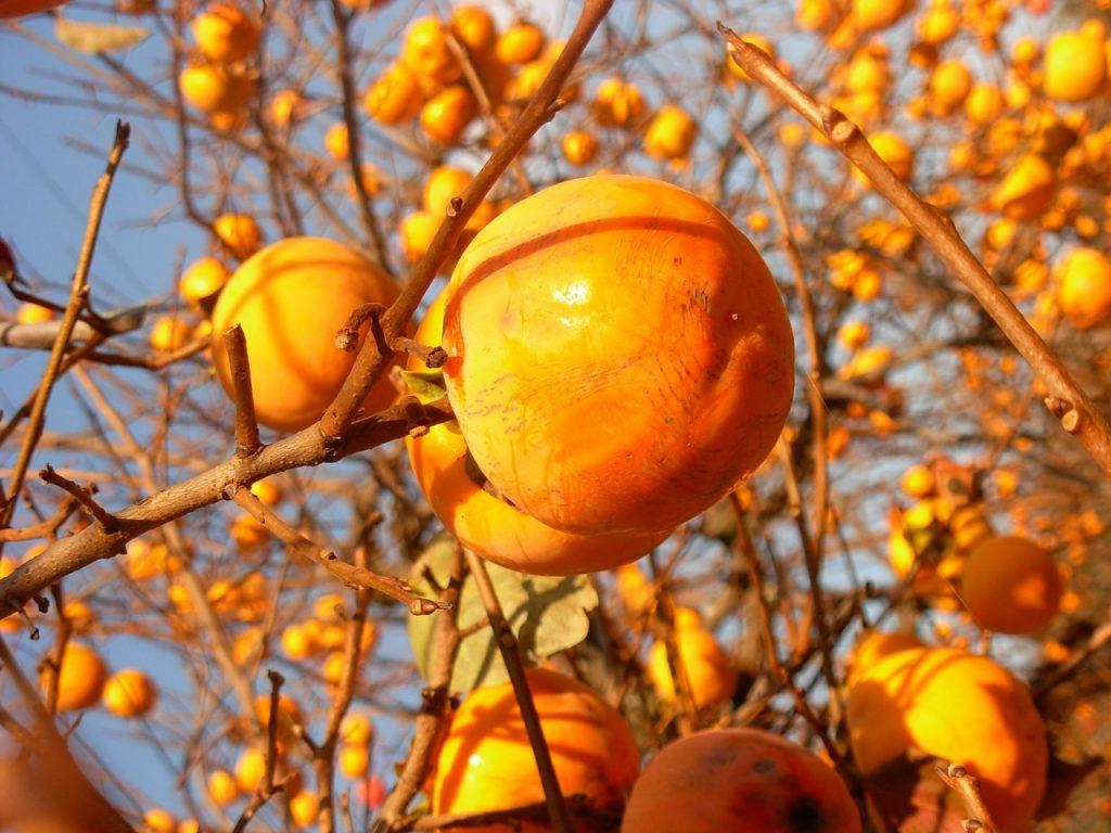 Kaki je plodem tomelu japonského