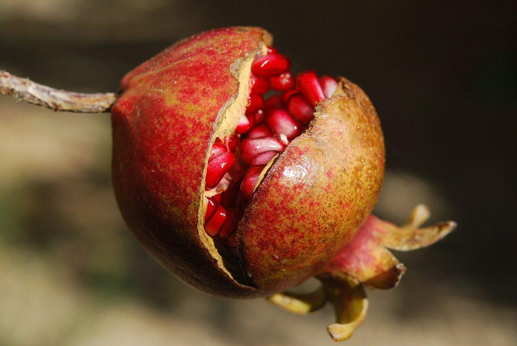 Plod granátového jablka na stromě