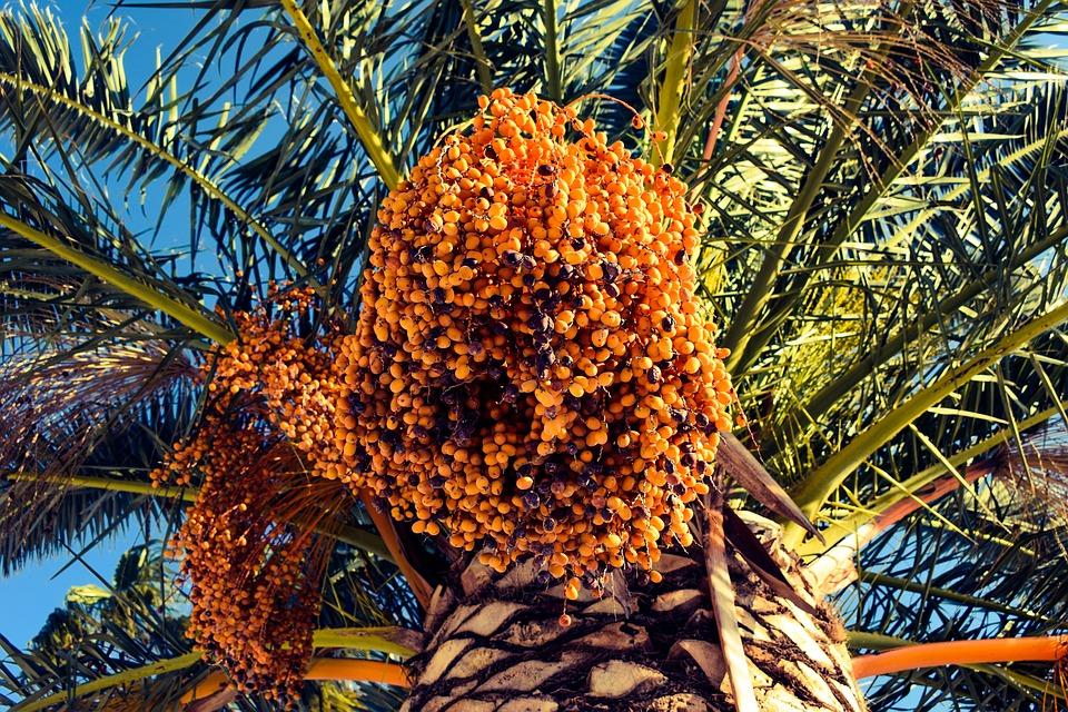 Trs datlí na stromě